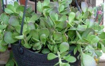 Kleinia petraea (Senecio jacobsenii) - Trailing Jade