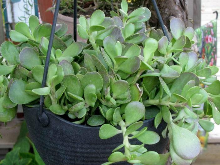 Kleinia petraea (Trailing Jade) aka Senecio jacobsenii