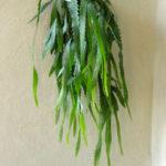 Lepismium houlletianum (Snowdrop Cactus)