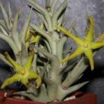 Orbea rogersii