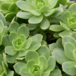 Sedeveria 'Green Rose'
