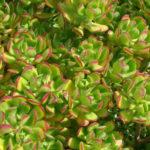 Sedum dendroideum - Tree Stonecrop