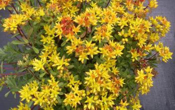 Phedimus kamtschaticus var. floriferum 'Weihenstephaner Gold' aka Sedum kamtschaticum var. floriferum 'Weihenstephaner Gold'