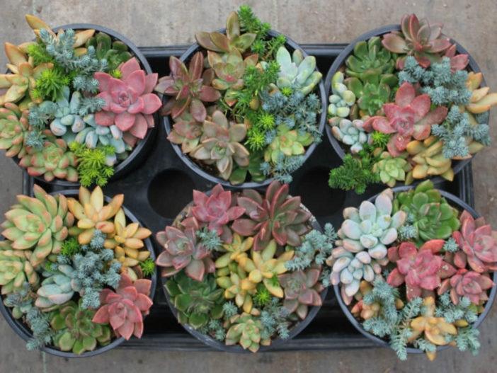 Succulent Myths