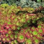 Aeonium 'Jack Catlin' (Red Aeonium)
