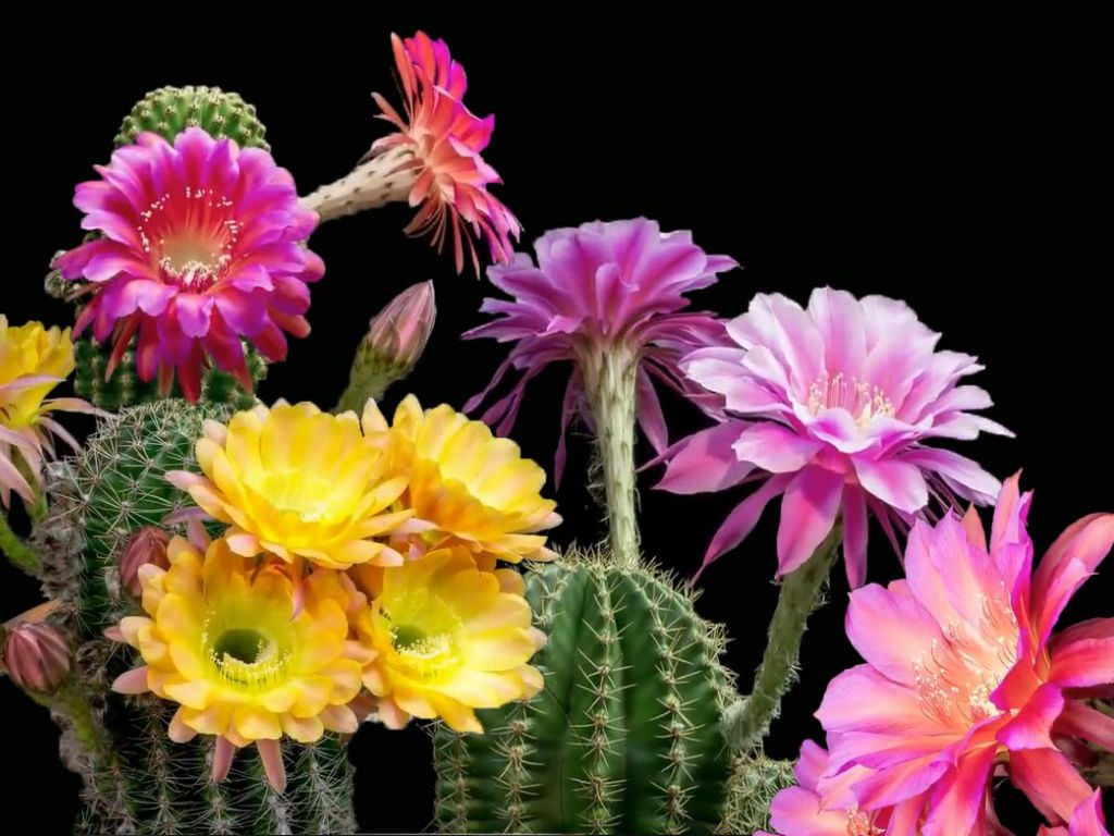 Does Every Cactus Bloom World Of Succulents