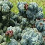 Cereus 'Ming Thing'