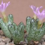 Conophytum turrigerum