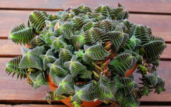 Crassula 'Pagoda Village'