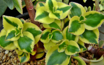 Crassula sarmentosa 'Comet' (Variegated Trailing Jade Plant) aka Crassula sarmentosa 'Variegata'