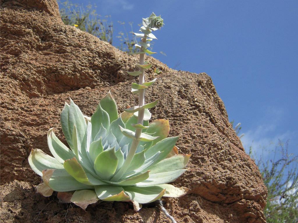 Dudleya Pulverulenta Chalk Liveforever World Of Succulents