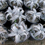 Dyckia marnier-lapostollei - White Dyckia