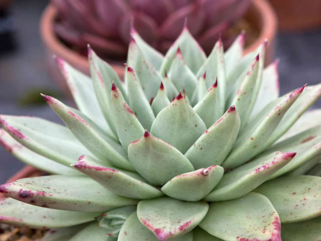 Echeveria Agavoides Maria Wax Agave World Of Succulents