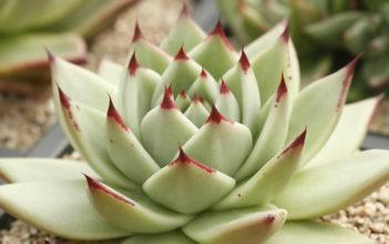 Echeveria agavoides 'Maria' (Wax Agave)