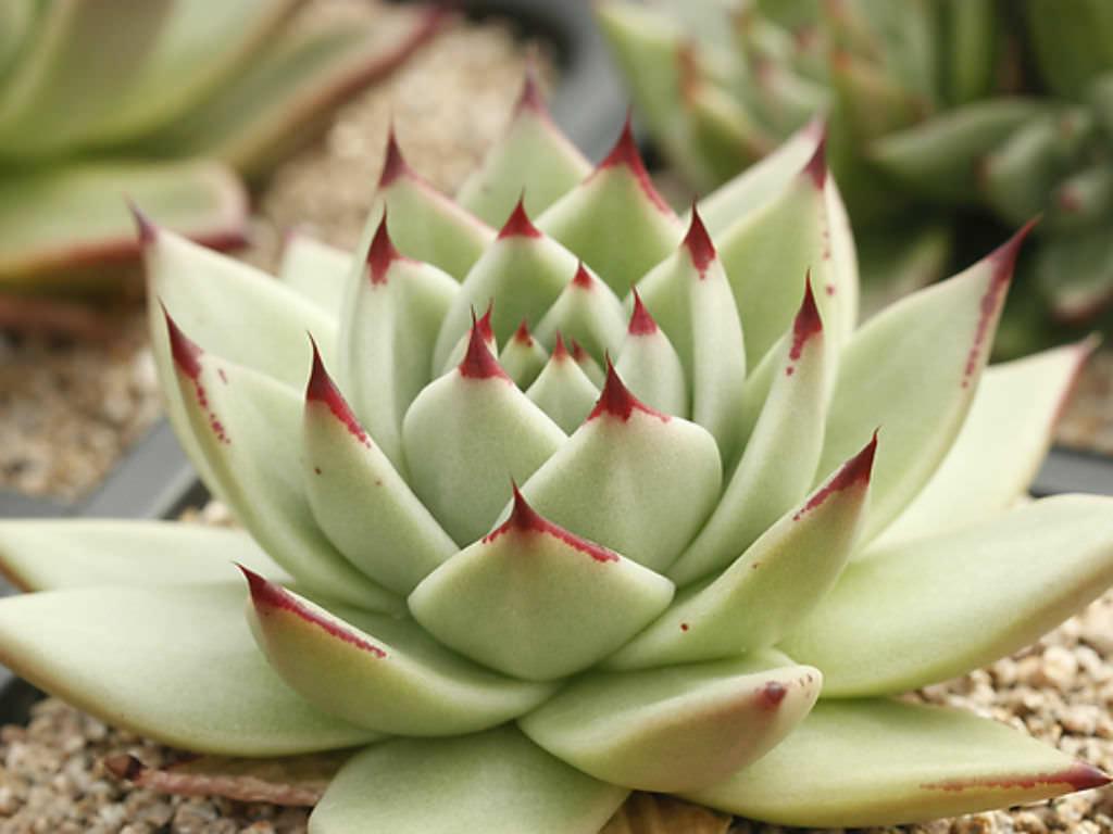 Garden Bush: Echeveria Agavoides 'Maria' - Wax Agave