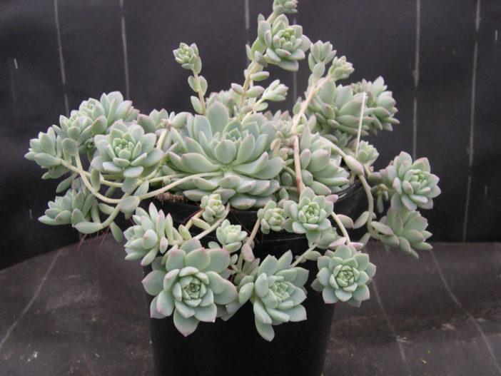 Echeveria prolifica (Prolific Echeveria)