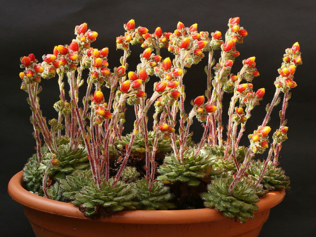 Echeveria setosa var. ciliata | World of Succulents