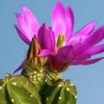 Echinocereus viereckii subsp. morricalii