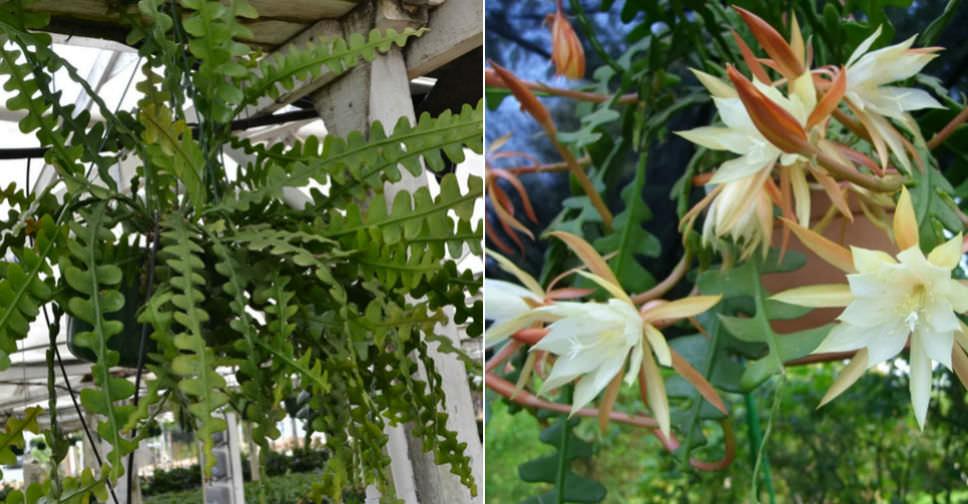 Epiphyllum Anguliger Fishbone Cactus Moon Cactus World Of Succulents