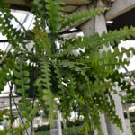 Epiphyllum anguliger - Fishbone Cactus Moon Cactus