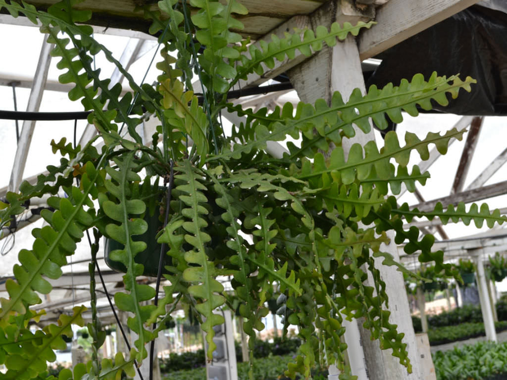 Epiphyllum Anguliger Fishbone Cactus Moon Cactus