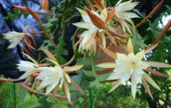 Epiphyllum anguliger (Fishbone Cactus)