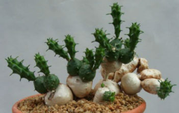Euphorbia globosa - Globose Spurge