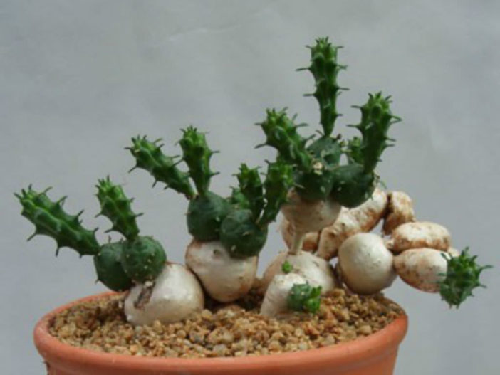 Euphorbia globosa (Globose Spurge)