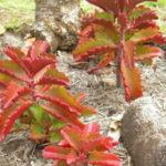 Kalanchoe sexangularis - Six-angled Kalanchoe