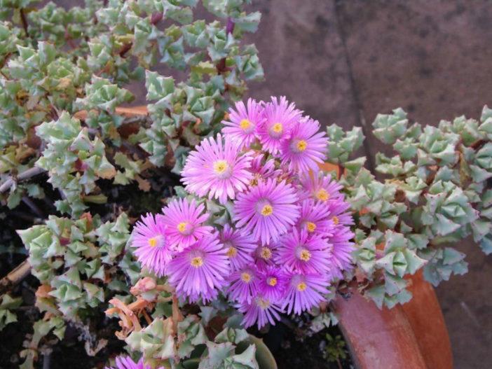 Lampranthus blandus - Pink Vygie