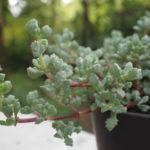 Lampranthus blandus (Pink Vygie)