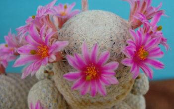 Mammillaria herrerae (Golf Ball)