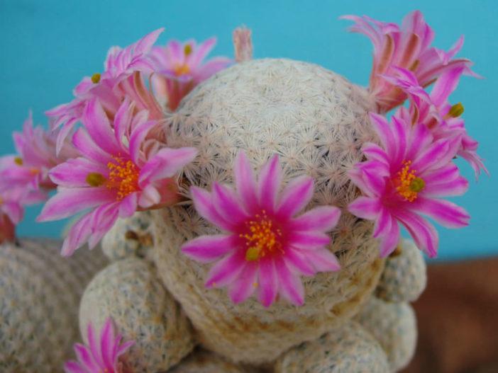 Mammillaria herrerae - Golf Ball