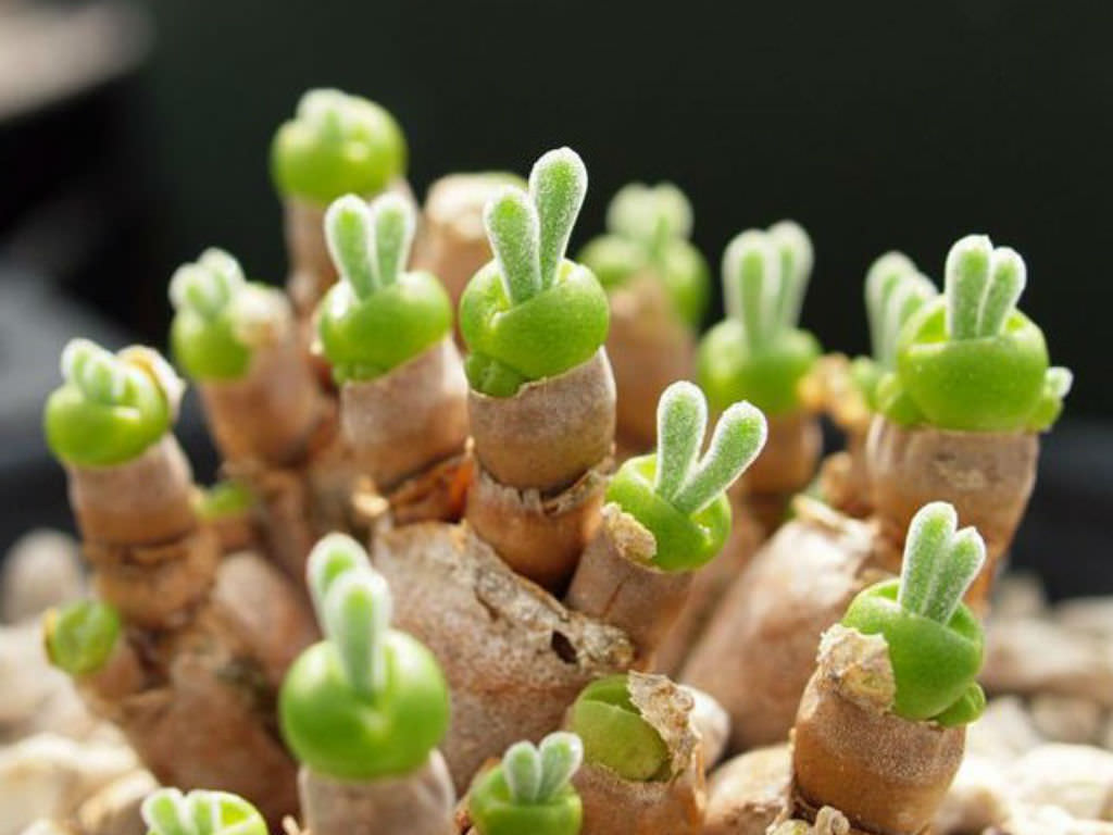 String of pearls plant care - Monilaria Moniliformis String Of Pearls