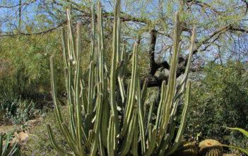 Pachycereus schottii (Senita Cactus) aka Lophocereus schottii