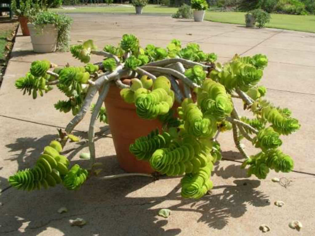 Portulaca molokiniensis /'Ihi/' Succulent Plant