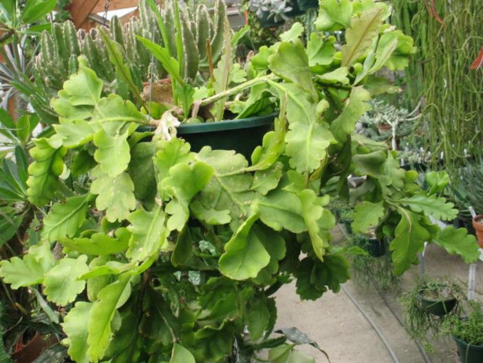 Rhipsalis oblonga