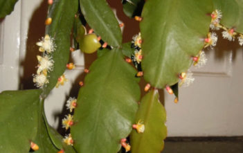 Rhipsalis rhombea - Copper Branch