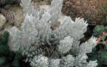 Senecio haworthii (Cocoon Plant)
