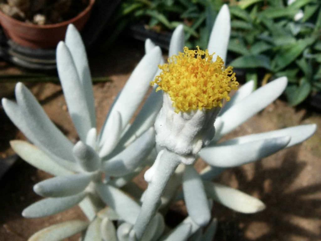 Garden Bush: Senecio Haworthii (Cocoon Plant)