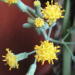 Senecio oxyriifolius (False Nasturtium)