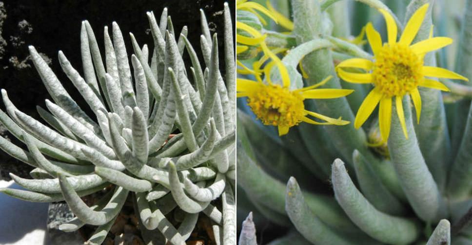 Senecio Scaposus Woolly Senecio World Of Succulents