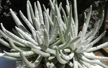 Senecio scaposus (Woolly Senecio)
