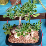 Senecio tropaeolifolius - False Nasturtium