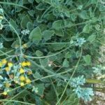 Senecio tropaeolifolius (False Nasturtium)