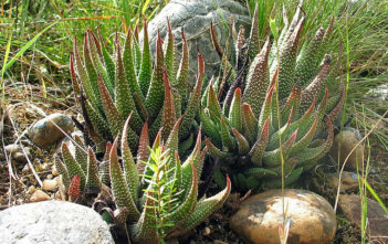 Tulista minor aka Haworthia minor, Tulista minima or Haworthia minima