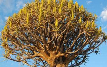 Aloe dichotoma - Quiver Tree