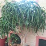 Aloe tongaensis - Tonga Tree Aloe