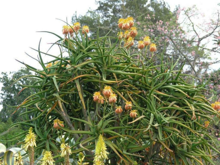 Aloidendron tongaense (Tonga Tree Aloe)