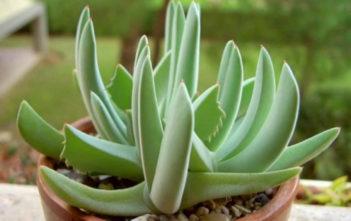 Cheiridopsis denticulata - Carpet Weed
